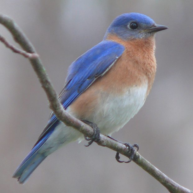 Sunday May 14: Badger Bluebird Tour!