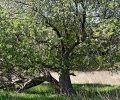 Badger Apples- new video documents history and future of heritage apple trees