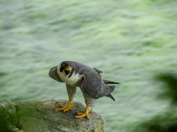 March 21 Lecture Series Program: Peregrine Falcons