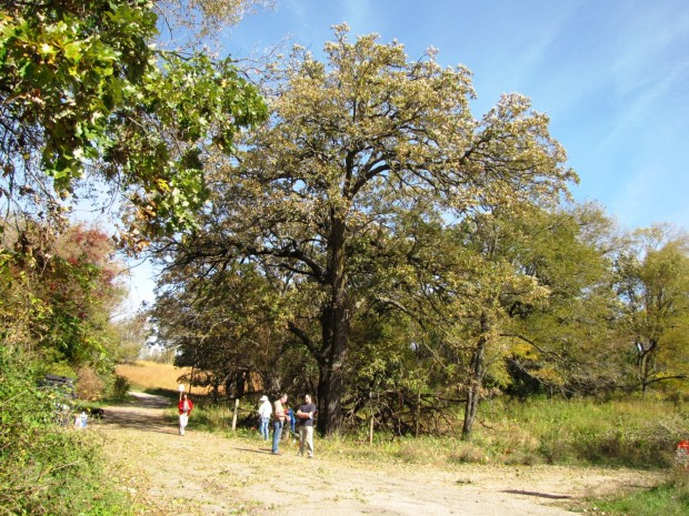 Freeing the Big Burr Oak at Badger