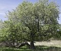 Preserving the Historic Badger Apple Trees